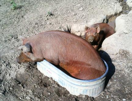 Hot Pigs